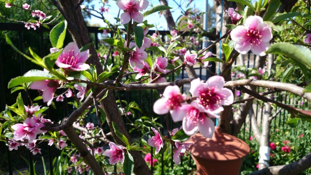 nectarine blossom.jpg