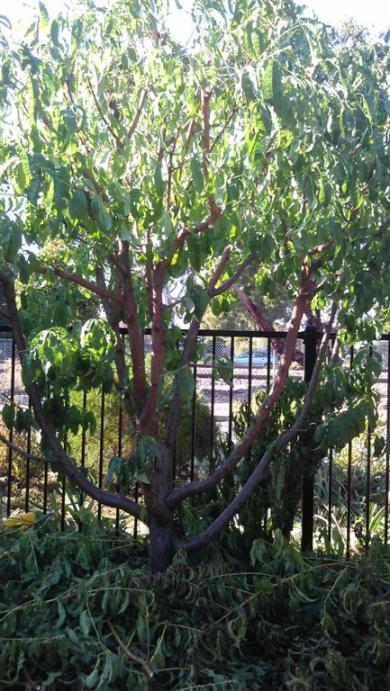 nectarine tree (Large)
