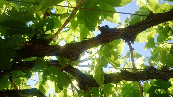 grapevine spring
