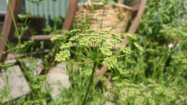 parsley flowers