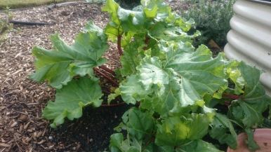 The rhubarb has really taken off