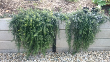 Beautiful prostrate rosemary spills over the wall