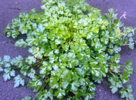 parsley.jpg