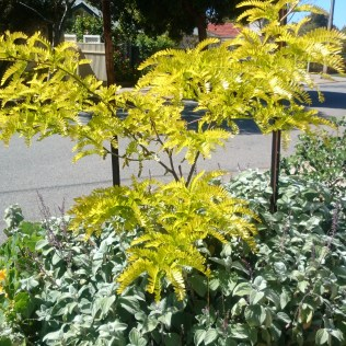 Gleditsia 'Sunburst' and Plectranthus argentatus for foliage contrast