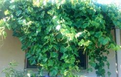 A cascade of grapevines