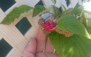 The first raspberry