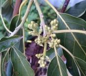 Avocado flower buds