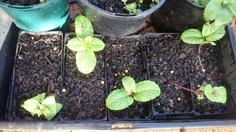 Mint cuttings