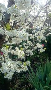 Mariposa plum blossom