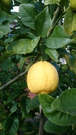 Big winter lemons