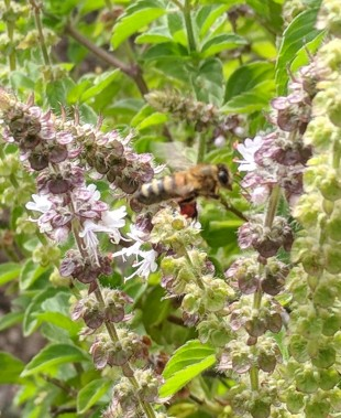 The one bee with red pollen on the Greek basil