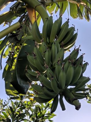 First bunch of bananas