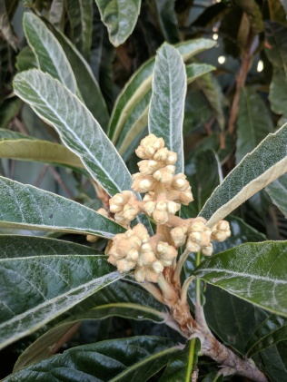 Loquat's first flowering