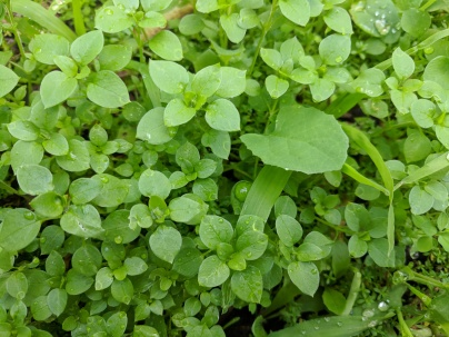 Chickweed, sow thistle and grass = sweet treats for chooks