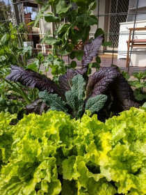 Aust yellow lettuce, Tuscan kale, red mustard & snowpeas