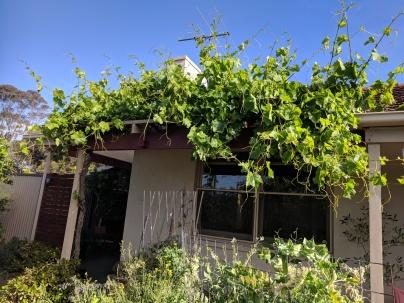 Seasonal shading regrown - sultana grape
