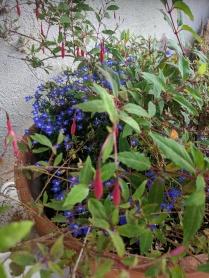 Fuchsia and lobelia