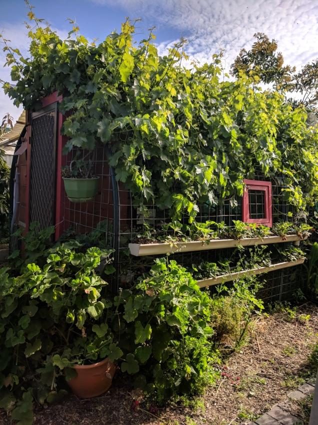 Zante grapevine eats chook house ;)