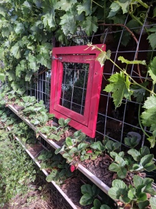 Strawberries ripening on chook house