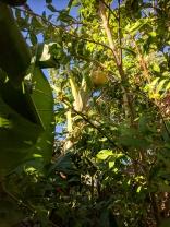 Banana and pomegranate