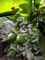 Tahitian lime (and banana)