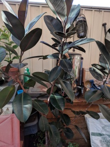 Ficus (rubber tree) burgundy