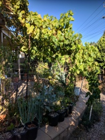 Another grape - over veg beds